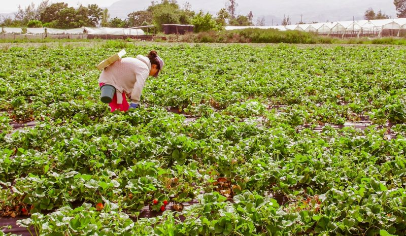 Perry Certified Strawberry-Runner Growers